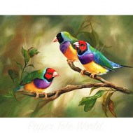 Gouldian Finches2